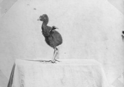 Pūkeko chick
