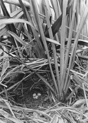 New Zealand scaup nest