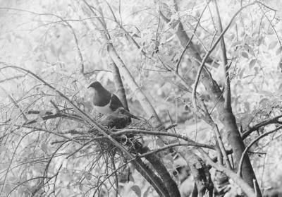Wood pigeons