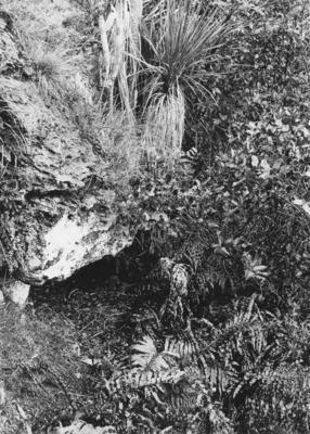 New Zealand falcon nest