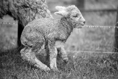 Lambing Season, Napier