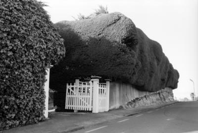 Macrocarpa Hedge, Napier Terrace and Chaucer Road North, Napier