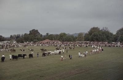 Showday at Tomoana Showgrounds, parade of animals