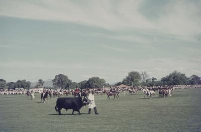 Showday at Tomoana Showgrounds, a champion bull on parade