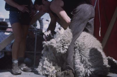 Showday at Tomoana Showgrounds, sheep shearing