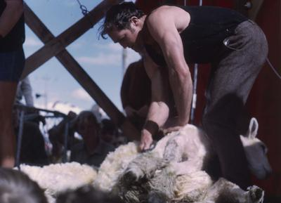 Showday at Tomoana Showgrounds, sheep shearing competition