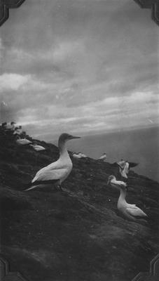 Gannets, Cape Kidnappers