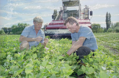 Hamish Melville and Trevor Hankin, Bean Harvesting, Hawke's Bay