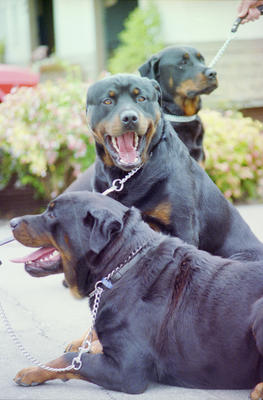 Rottweilers are among the dogs receiving bad press