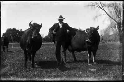 Man with cows