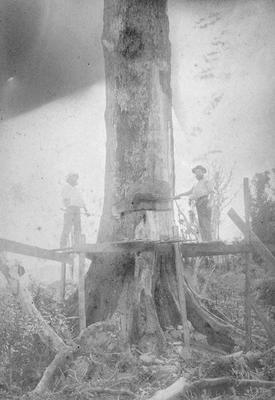 Last tree in Woodville