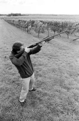 Havelock North grower Bill Sculatti is pictured scaring birds from his muller thurgau grapes