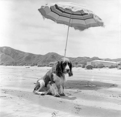 Spaniel under umbrella at Mahia Beach