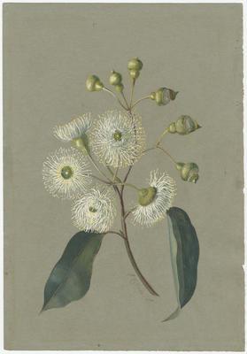 Untitled - Corymbia ficifolia (White Flowering Gum)