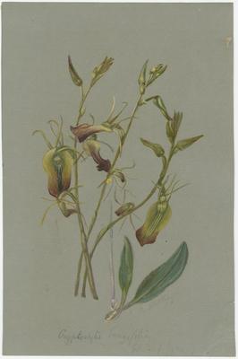 Cryptostylis longifolia