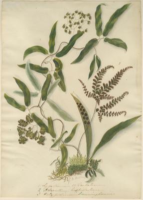 Lygodium articulatum, Adiantum hispidulum and Polypodium cunninghamii