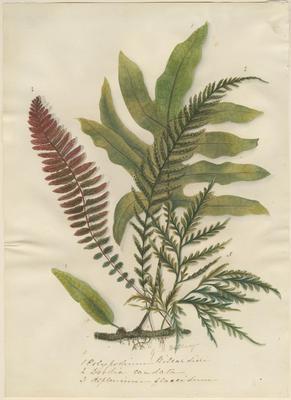 Polypodium billardieri, Doodia caudata and Asplenium flaccidum