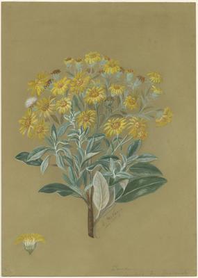 Senecio laxifolia