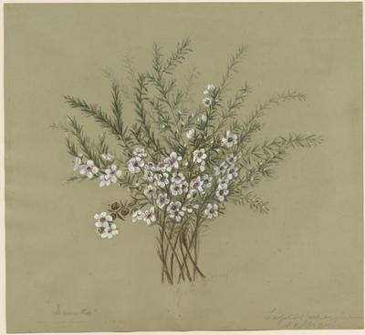 Leptospermum scoparium