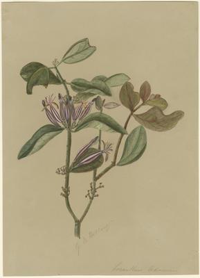 Loranthus adamsii