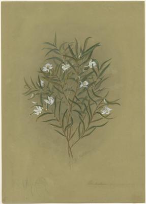 Dendrobium cunninghamii