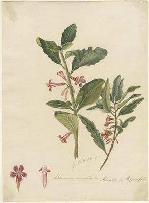 Alseuosmia macrophylla and Alseuosmia quercifolia