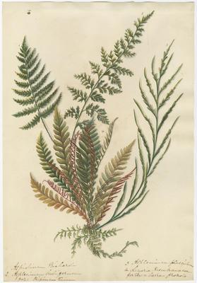 Aspidium riehardi, Asplenium bulbiferum, Asplenium flaccidum and Lomaria membranacea