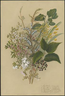 Aristotelia racemosa, Gaultheria antipoda, Cyathodes empetrifolia, Hymenanthera crassifolia and Libertia grandiflora