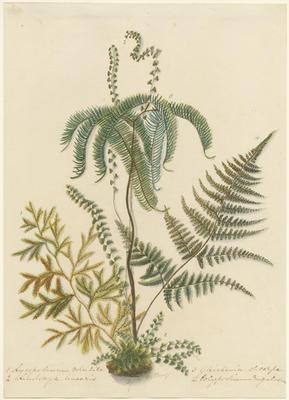 Lycopodium volubile, Lindsaya linearis, Gleichenia dicarpa and Polypodium rugulosum