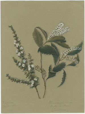Olearia solandri and Weinmannia silvicola