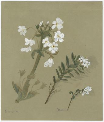 Ourisia macrophylla and Veronica buxifolia