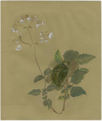 Calceolaria sinclairii