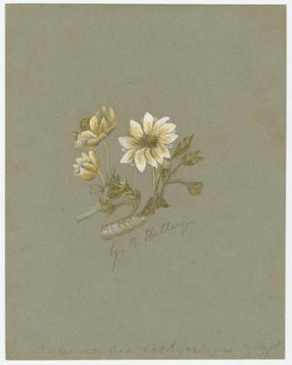 Ranunculus pachyrhizus