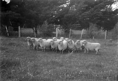 Sheep, Maraekakaho