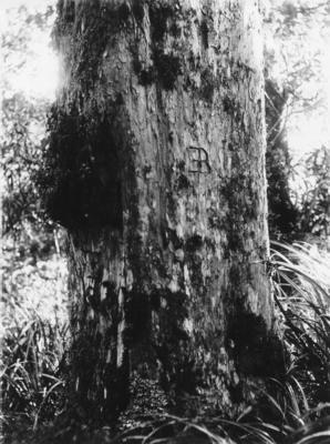 Tree, Lake Waikareiti, Waikaremoana