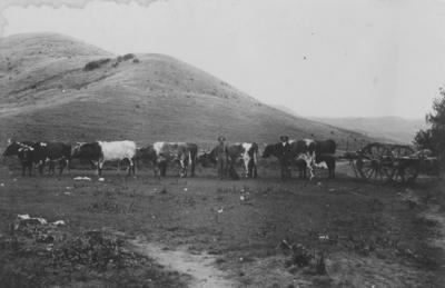 Bullocks pulling a cart, Omarunui