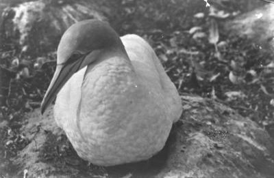 Gannet, Cape Kidnappers