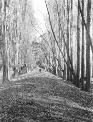 Poplar Avenue, near Hastings, Hawke's Bay
