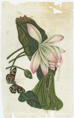 Untitled - lotus flowers and leaves