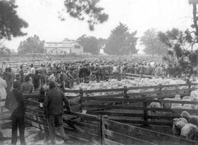 Sale Day, Sheep, Waipukurau