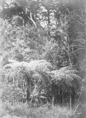 Forest Scene, North Island