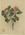 Loranthus colensoi