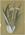 Celmisia monroi